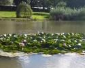 Swanwick2017waterlilies